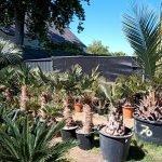 Zomerse verzorgingstips voor exotische planten zoals palmen, bananen, boomvarens, yucca, citrussen en olijven