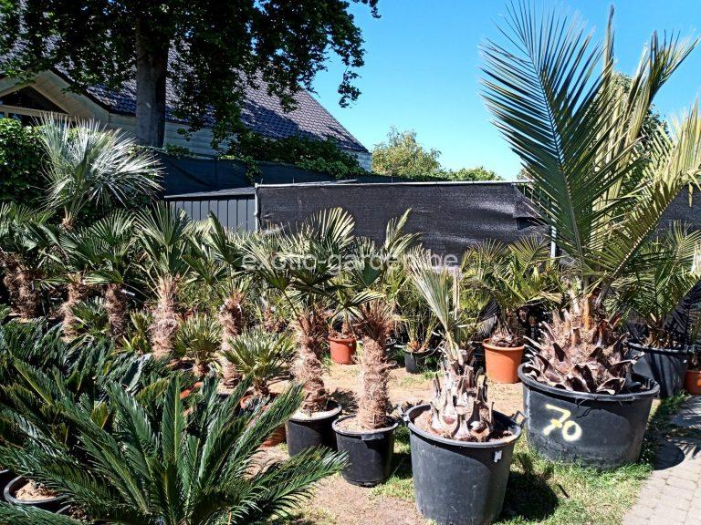 Read more about the article Zomerse verzorgingstips voor exotische planten zoals palmen, bananen, boomvarens, yucca, citrussen en olijven