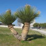 Dasylirion serratifolium (grasboom)