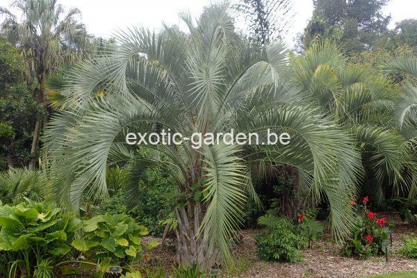 Butia eriospatha (Wollige butia)