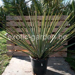 "Yucca rostrata x rigida ""Hybride"""