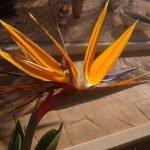Strelitzia reginae (Paradijsvogelbloem)