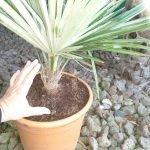 Trachycarpus princeps (Stone Gate palm)