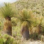 Dasylirion longissimum (Mexicaanse grasboom)