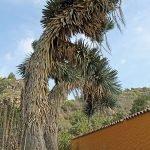 Yucca filifera Australis (palmlelie)